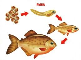 Этапы развития рыбы
