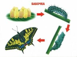 Этапы развития бабочки