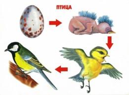 Этапы развития птиц