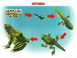Этапы развития лягушки