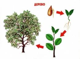 Этапы развития дерева
